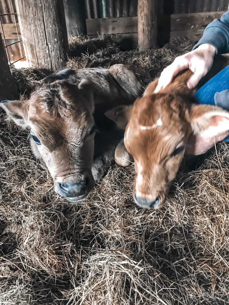 Raising Bottle Fed Calves Life With Grace And Heart